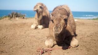 kameleita kyllästyttää