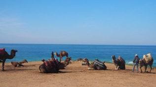 camels waiting for tourists