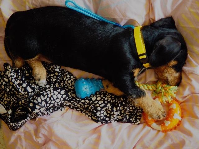 koiranpentu-nukkuu-pedillä.jpg